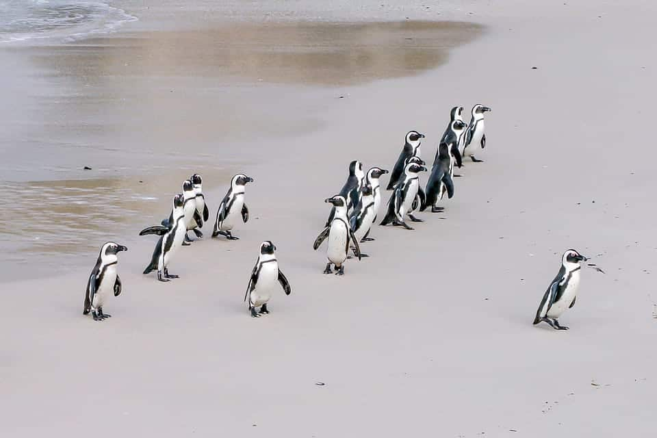 A group of penguins following a leader in migration. This symbolizes the importance of leadership through self-awareness.